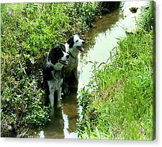 Sheep Dogs Acrylic Print by Barry Shaffer