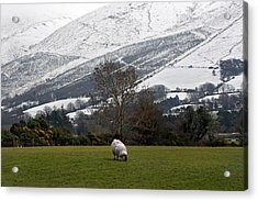 Sheep Grazing Atthe Galtees  Ireland's Tallest Inland Mountains Acrylic Print