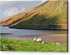 Sheep Grazing In Connemara Ireland Acrylic Print by Pierre Leclerc Photography
