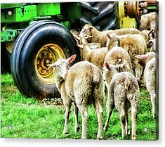 Acrylic Print featuring the photograph Sheep Guards by Toni Hopper
