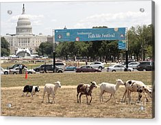 Sheep-herding In Washington Dc Acrylic Print