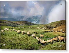Sheep In Carphatian Mountains Acrylic Print