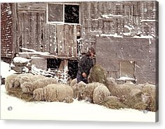 Sheep In Underhill Vermont. Acrylic Print