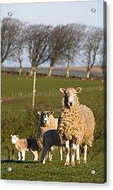 Sheep, Lake District, Cumbria, England Acrylic Print