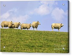 Sheep On Dyke Acrylic Print