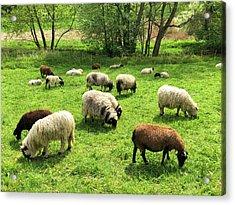 Sheep On Meadow Acrylic Print