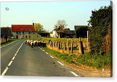 Sheep Right Of Way Acrylic Print