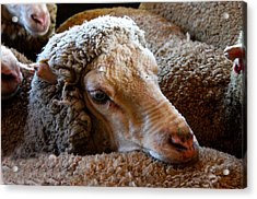 Sheep To Be Sheared Acrylic Print