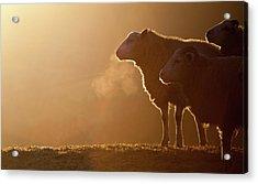 Sheeps Breath Acrylic Print