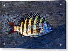 Acrylic Print featuring the photograph Sheepshead Fish by Laura Fasulo