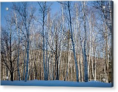 Shelburne Birches In Snow Acrylic Print
