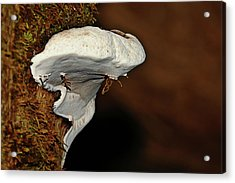 Shelf Fungus On Bark - Quinault Temperate Rain Forest - Olympic Peninsula Wa Acrylic Print