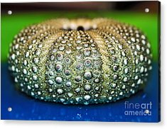 Shell With Pimples Acrylic Print by Kaye Menner