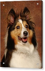 Acrylic Print featuring the photograph Sheltie by Greg Mimbs
