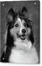 Sheltie In Black And White Acrylic Print