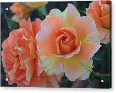 Sherbert Rose Acrylic Print by Marna Edwards Flavell