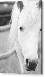 Shetland Pony Acrylic Print by Tina Lee