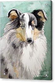 Shetland Sheep Dog Acrylic Print