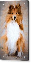 Shetland Sheepdog - Sheltie Acrylic Print