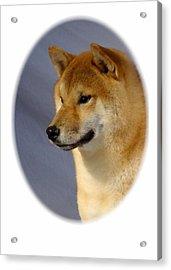 Shiba Inu 566 Acrylic Print by Larry Matthews