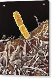 Shigella Bacteria, Sem Acrylic Print by Spl