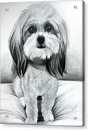 Shih Poo Graphite Acrylic Print