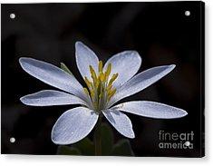 Shimmering Petals Acrylic Print