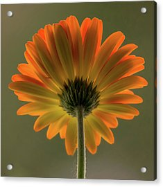 Shine Bright Gerber Daisy Square Acrylic Print by Terry DeLuco