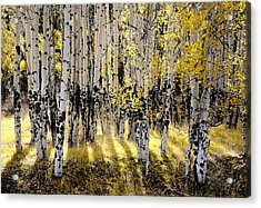 Shining Aspen Forest Acrylic Print by The Forests Edge Photography - Diane Sandoval