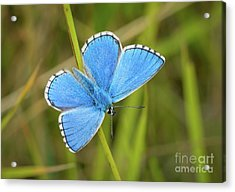 Shocking Blue Butterfly Acrylic Print