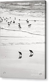 Plundering Plover Series In Black And White 7 Acrylic Print by Angela Rath