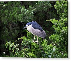 Shore Bird Roosting In A Tree Acrylic Print
