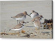 Shorebirds In Nova Scotia Acrylic Print
