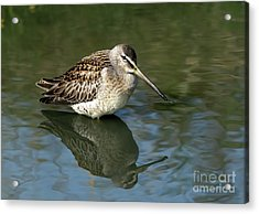 Acrylic Print featuring the photograph Short-billed Dowitcher by Sharon Talson