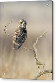 Acrylic Print featuring the photograph Short-eared Owl by Angie Vogel