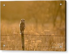Short-eared Owl At Sunset Acrylic Print