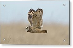 Short-eared Owl Hunting Acrylic Print