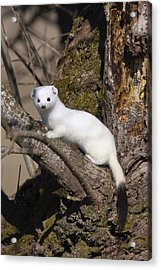 Short-tailed Weasel Mustela Erminea Acrylic Print by Konrad Wothe