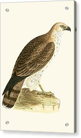 Short Toed Eagle Acrylic Print by English School