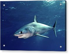 Shortfin Mako Sharks Acrylic Print by James R.D. Scott