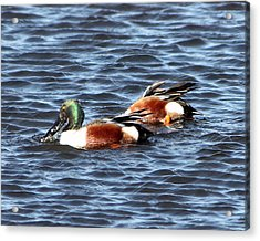Shoveler Duck 1 Acrylic Print