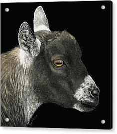Show Goat Acrylic Print