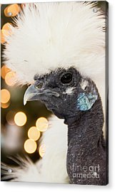 Showgirl A.k.a. Naked Neck Silkies Acrylic Print