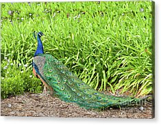 Acrylic Print featuring the photograph Showing Off by Ram Vasudev