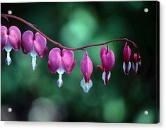 Showy Bleeding Hearts  Acrylic Print by Laurie Paci
