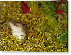 Shrew Pokes Head Out Of Tundra Acrylic Print by Michael S. Quinton