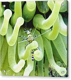 Shrimp And The Anemone Acrylic Print