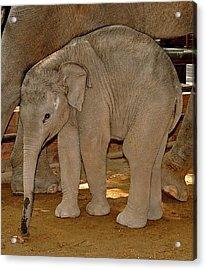 Shy Baby Elephant Acrylic Print