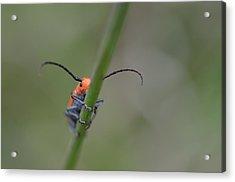 Shy Beetle Acrylic Print