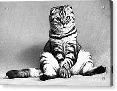 Shy Cat Acrylic Print